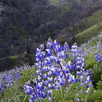 Blue lupines in southern California