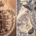 Original Proteins Found in Fossil Sea Turtle