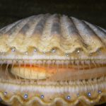 Complex Eyes of 'Simple' Clams Confound Darwin