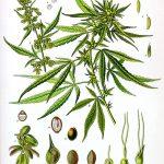 Why Did God Create Cannabis?