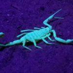 Oldest Scorpion Stings Darwin
