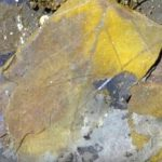 Fossil Leaves Contain DNA